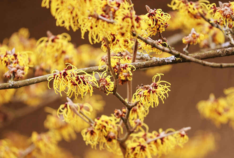 Witch Hazel – The Benefits